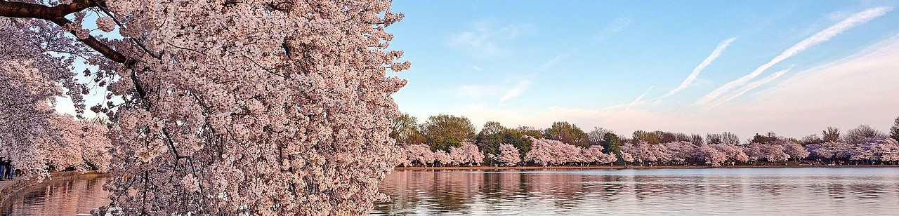 Cherry Blossoms at the Tidal Basin in Washington, DC