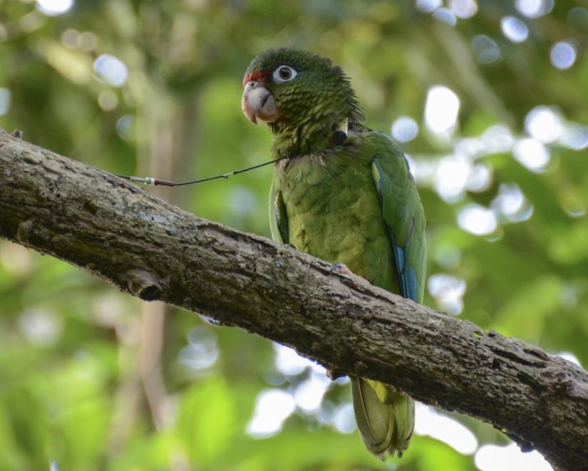 Albizu perching on a branch near his nest cavity