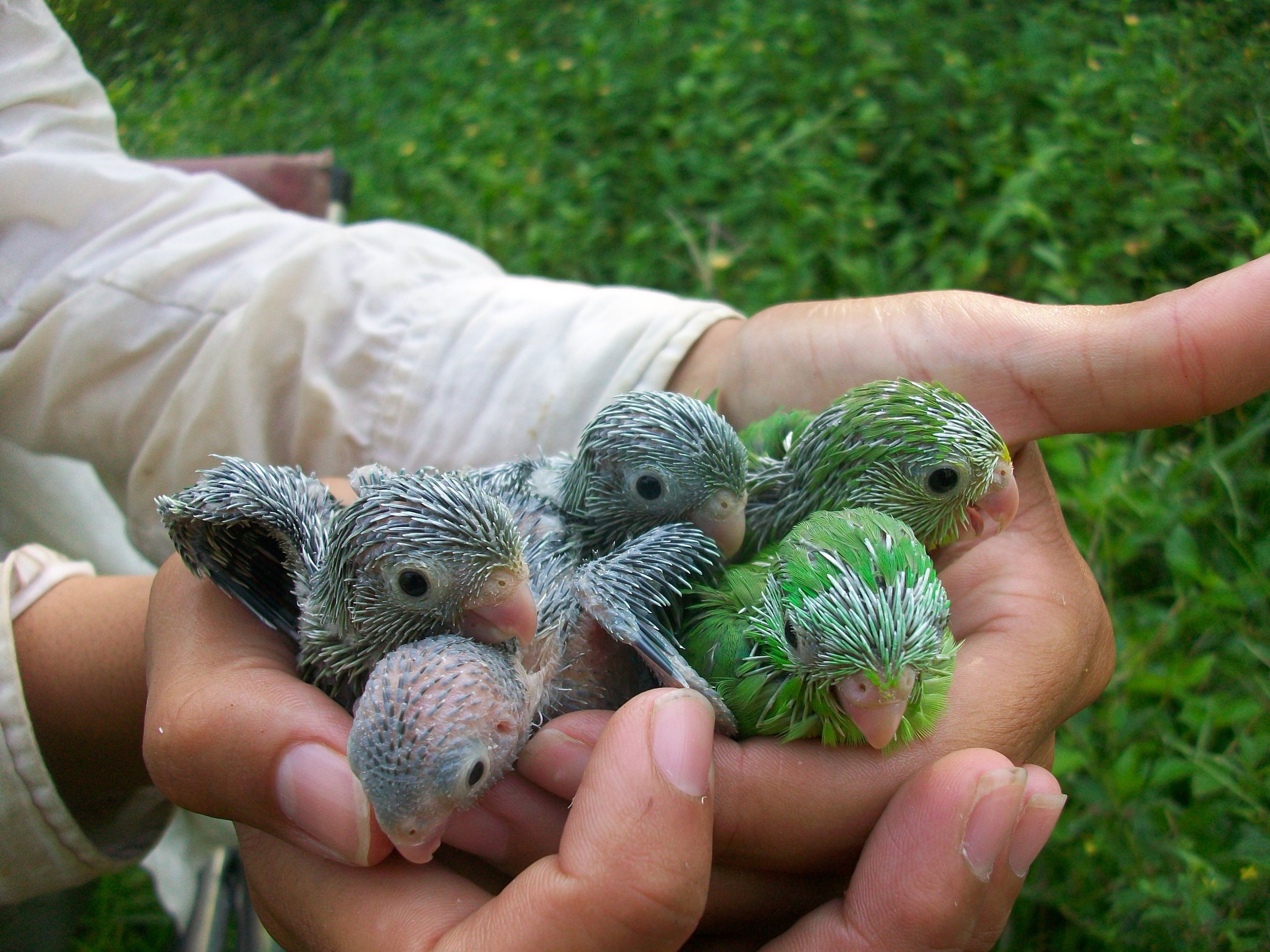 A handful of baby green-rumped parrotlets ( Forpus passerinus ). The average clutch size is six but they can also lay as many as 12 eggs in a single nest.