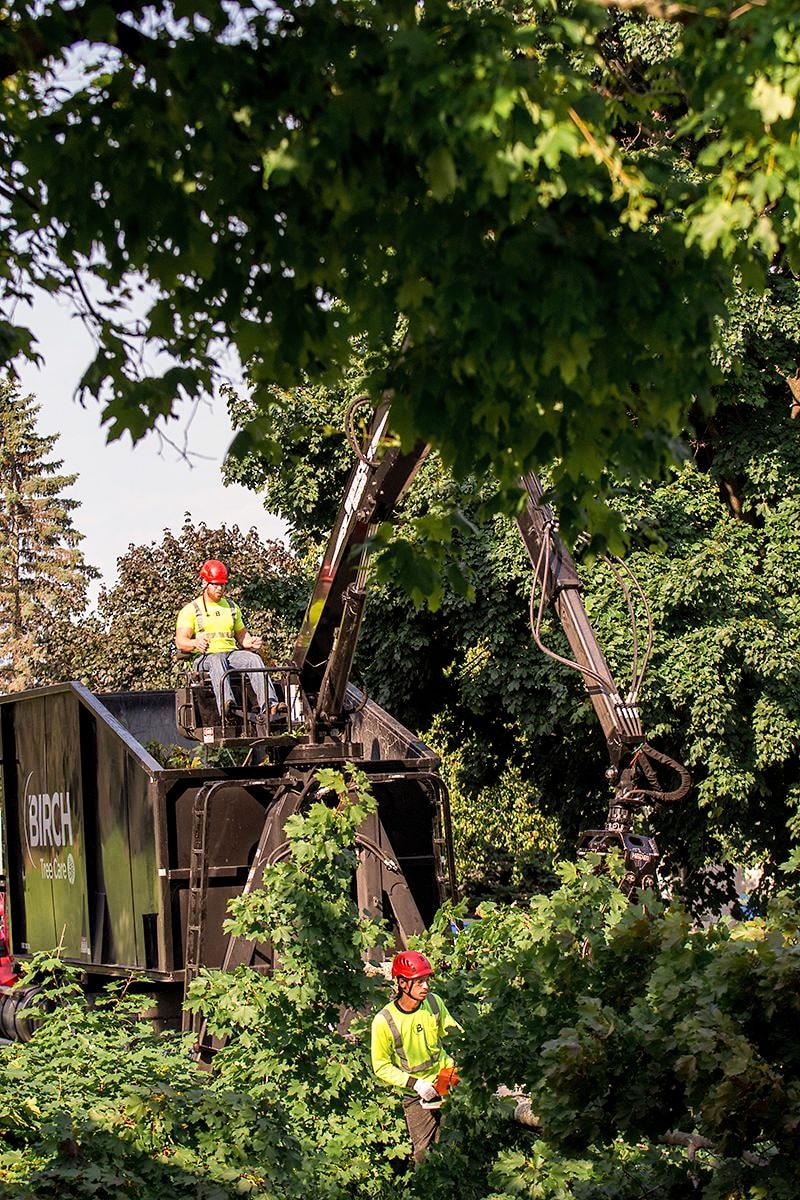 birch tree care tree removal work.jpg