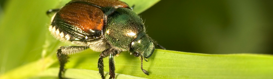 japanese beetle.png