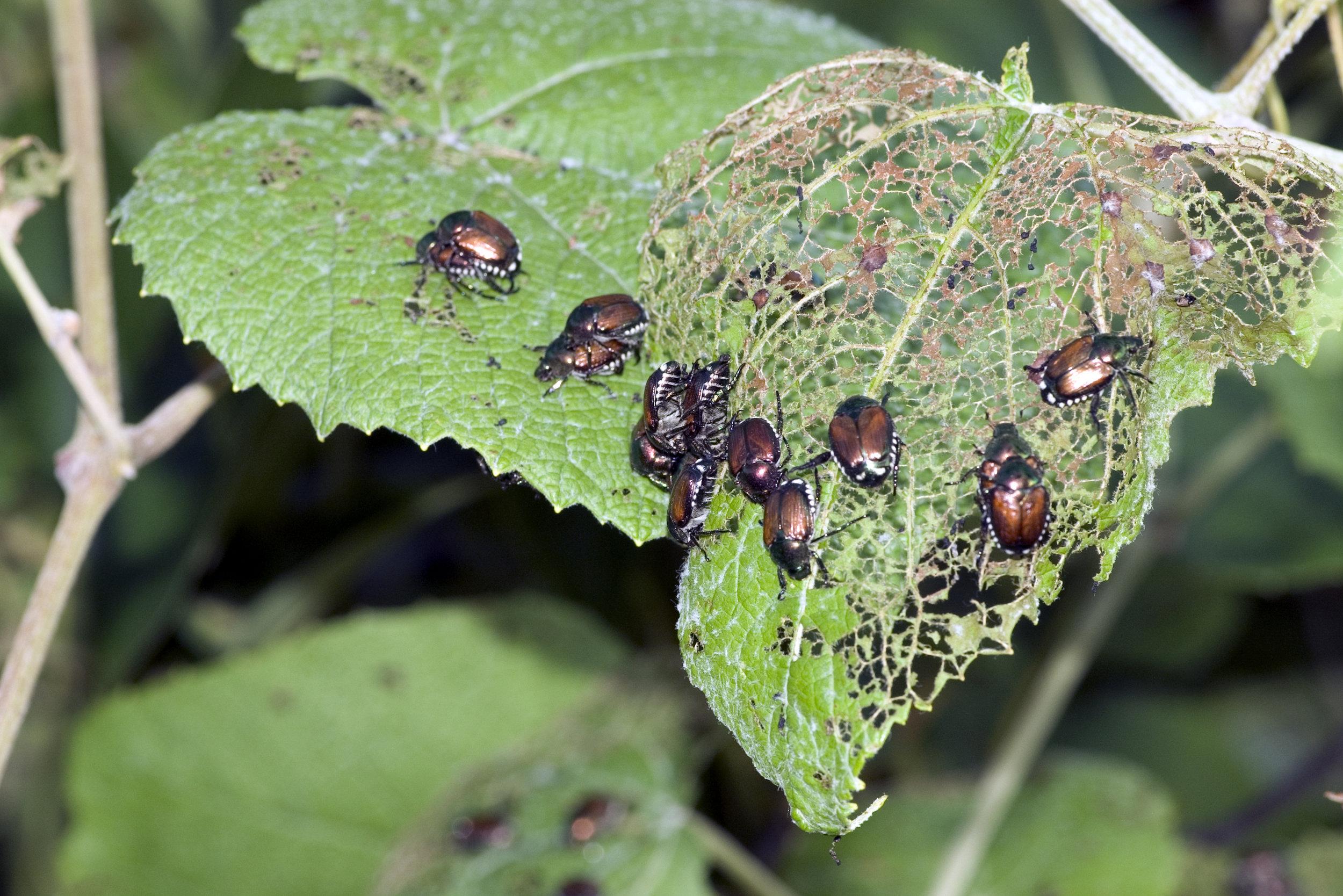 adult japanese beetles feeding on leaves.jpg
