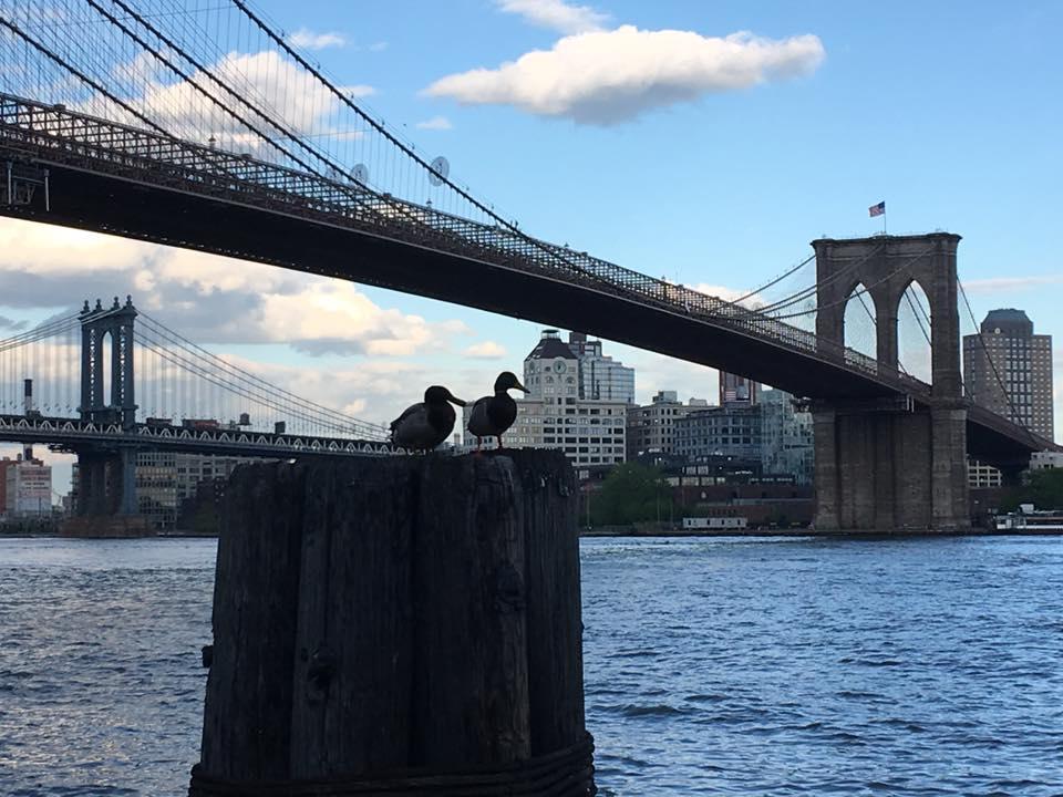 Brooklyn Bridge Ducks.jpg