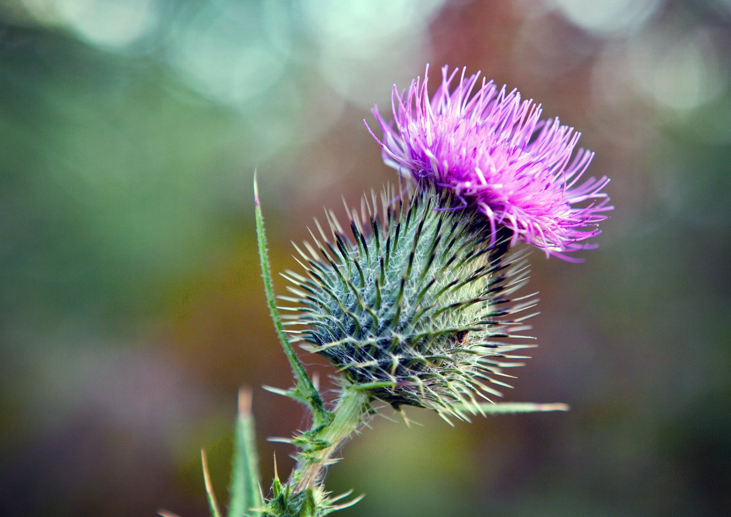 Milk thistle found in Fresh, Creamy Milk body butter with shea butter