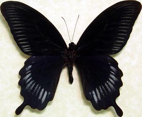 Mariposa obsidiana
