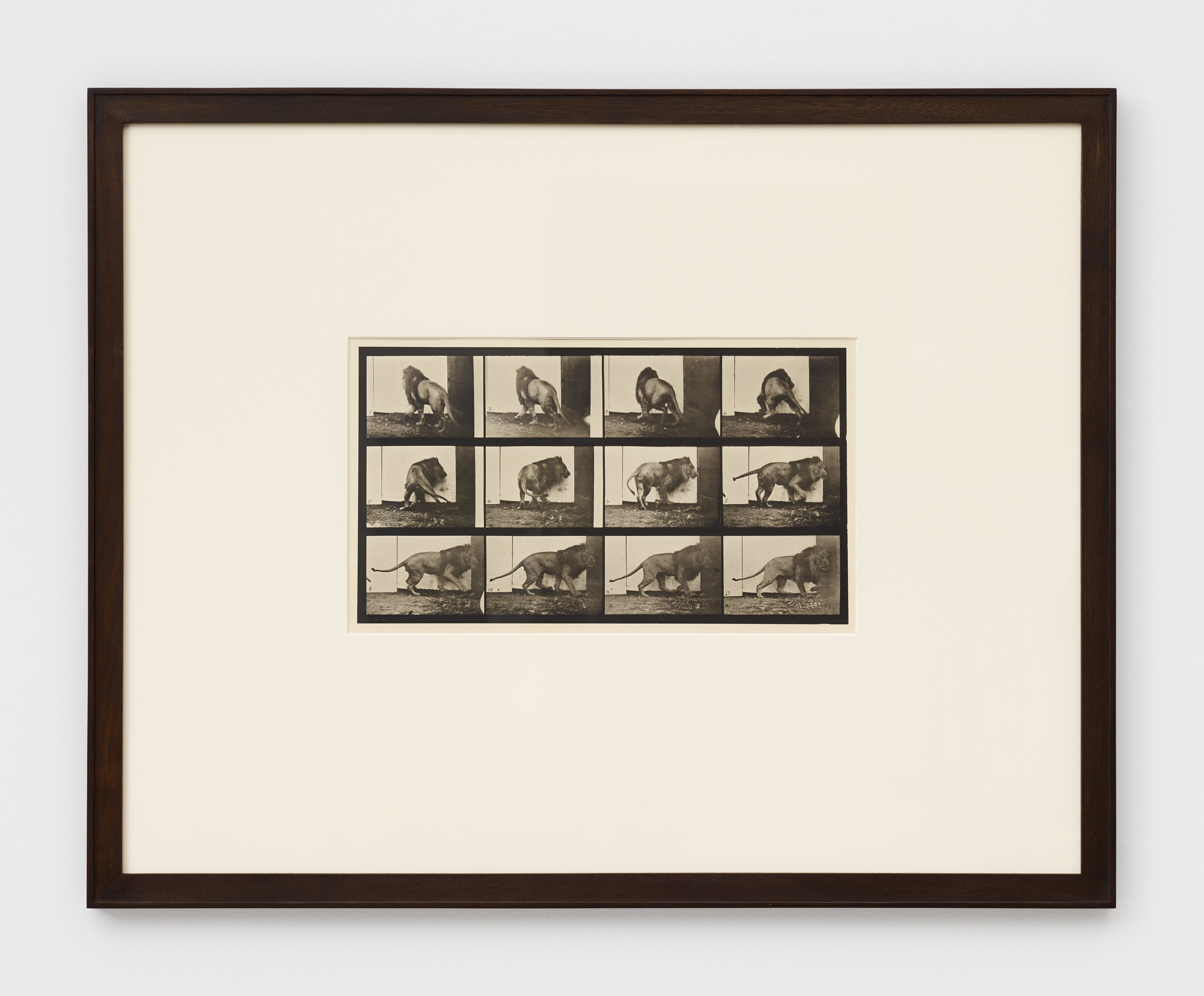 Eadweard Muybridge, Lion Walking and Turning Around, 1887, Collotype.