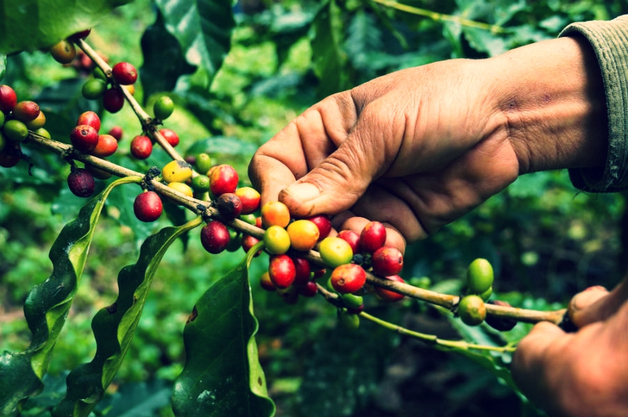 OUR CONNECTION WITH LOCAL FARMERS IS VERY IMPORTANT TO US AS IT MEANS THAT THEY THEMSELVES ARE LOOKED AFTER AND THEREFORE THEY LOOK AFTER THE COFFEE GROWN FOR US.