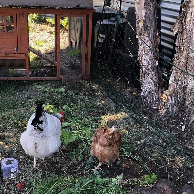 Big hen little hen. Beautiful ladies adding to the garden #simpleliving #closedloop #simpleradical