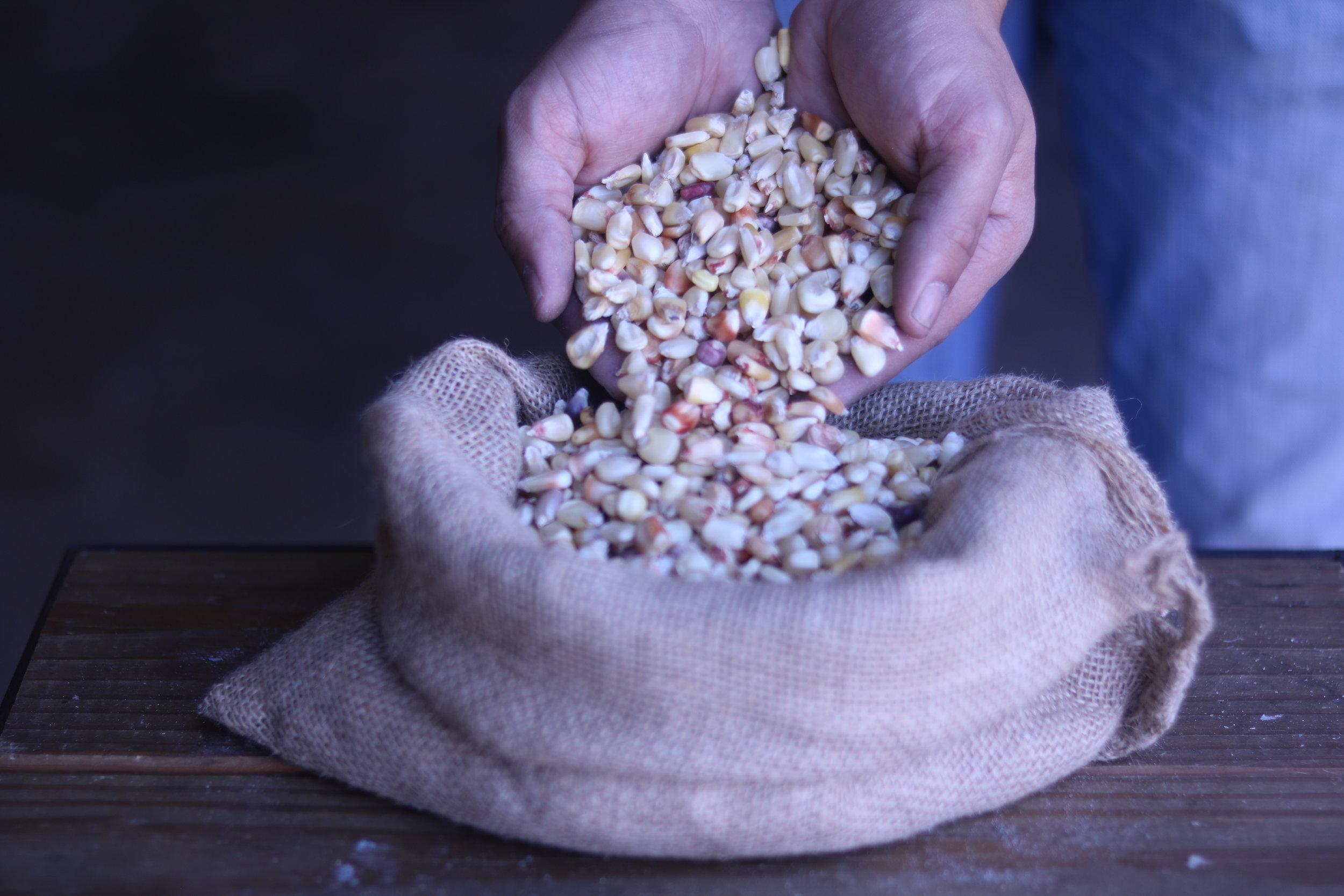 - maíz blanco criolloqueretarotortillas / tostadas / pinole