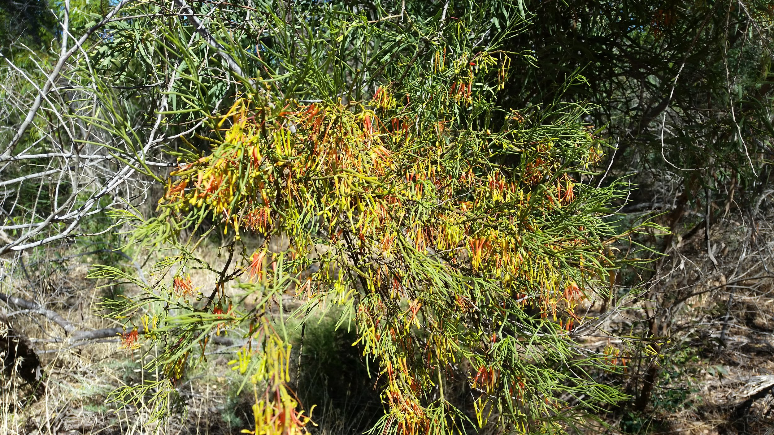 mistletoe flowers.jpg