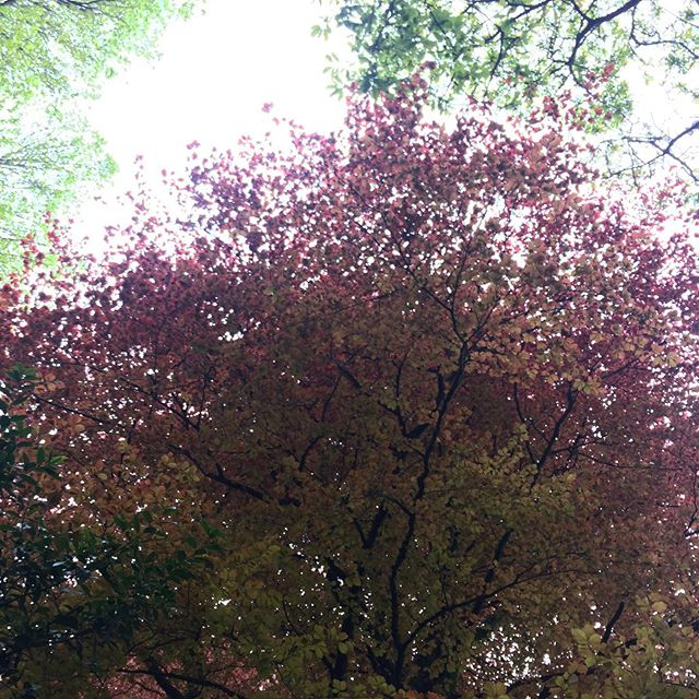The beautiful colours of the wonderful copper/purple beech 'Faw' in Cornish #cornwall #southwestcoastpath