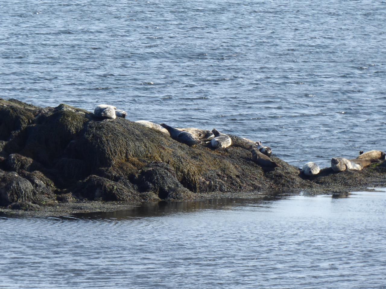 seals Finsbury Bay.jpg