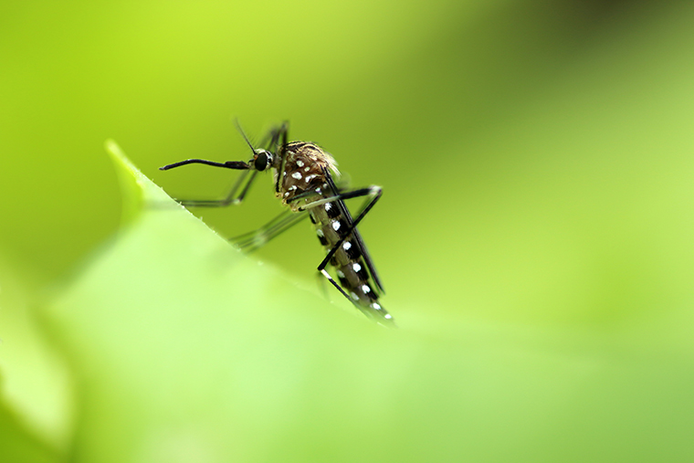 New research from Washington University in St. Louis shows that larvae of the invasive Asian rockpool mosquito (pictured above) consume parasites that might otherwise infect the native eastern tree-hole mosquito. (Photo: Eileen Kumpf/Shutterstock)