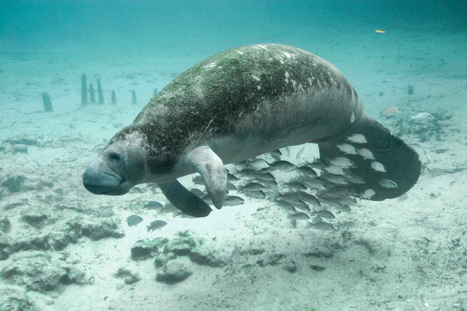 """MANATEE - The Florida manatee prefers a warm and shallow estuary or coastal waterway, where it can focus on its major activity: eating sea grass. Its herbivorous nature—unusual for a marine mammal—encourages the colloquial """"sea cow"""" nomenclature, as does its chunky body. But really the manatee, with its heavy bones, wrinkly gray skin, and mournful expression, is much more like the elephant, to whom it is related, and not at all like the hyrax (an unappealing rodent), to whom it is also related."""