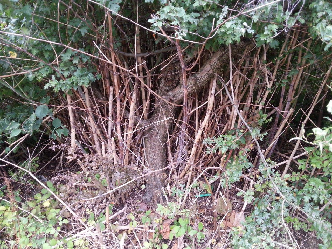 Japanese Knotweed Stalks