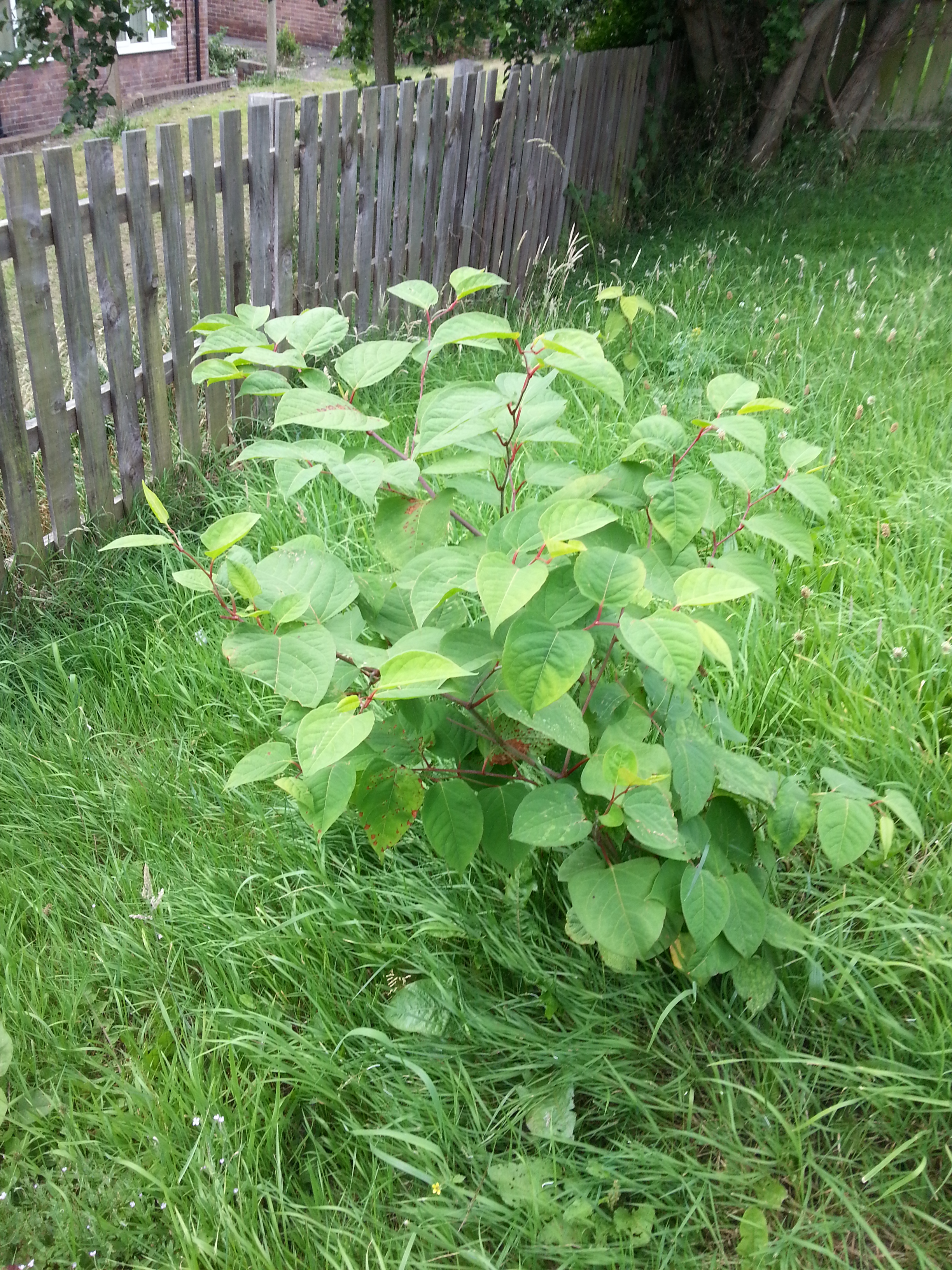 Japanese Knotweed in a domestic lawn