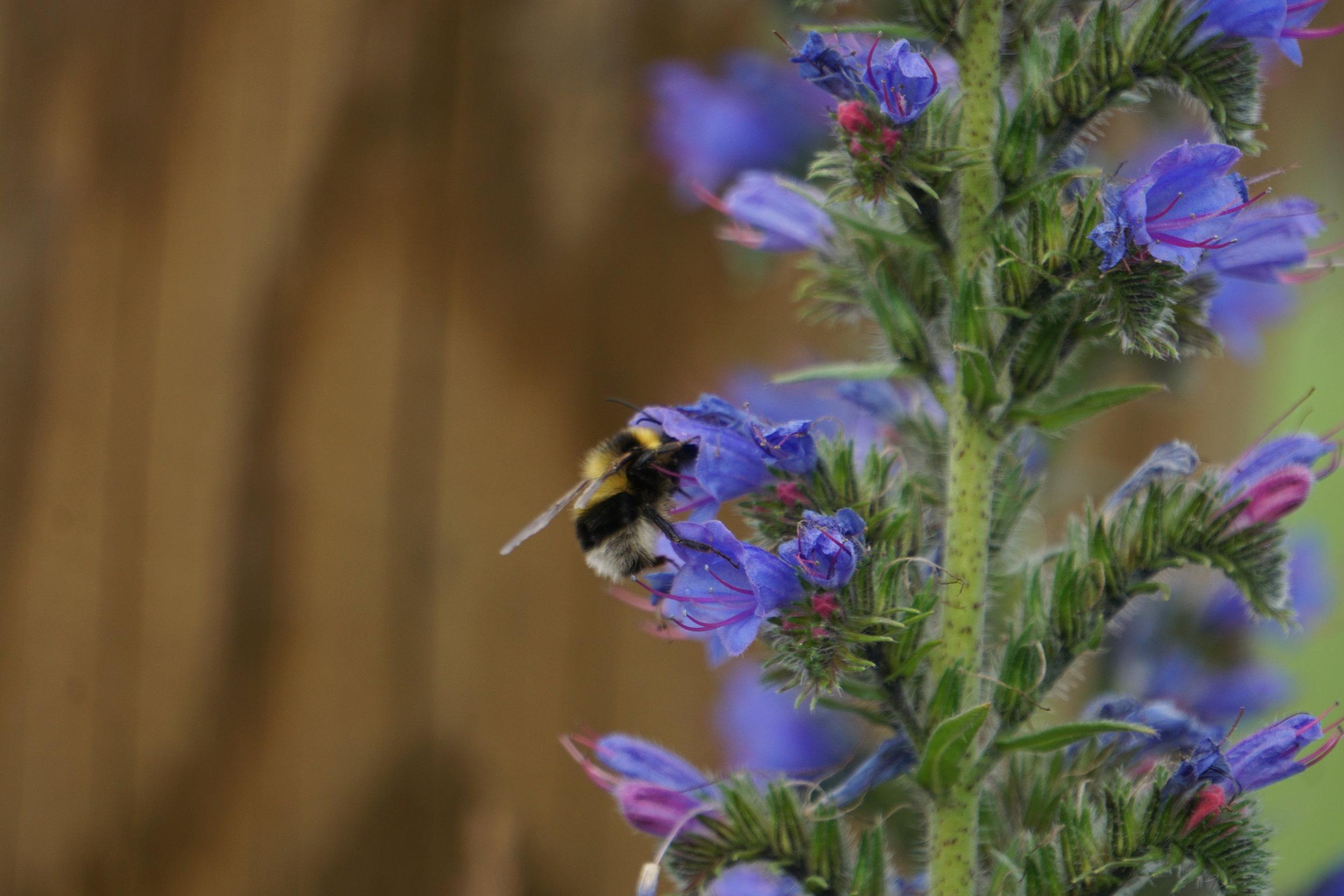 Bee in the meadow.JPG