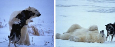 Brown discusses these photos by German photographer Norbert Rosing of a polar bear unexpectedly at play with sled dogs in Manitoba, Canada.