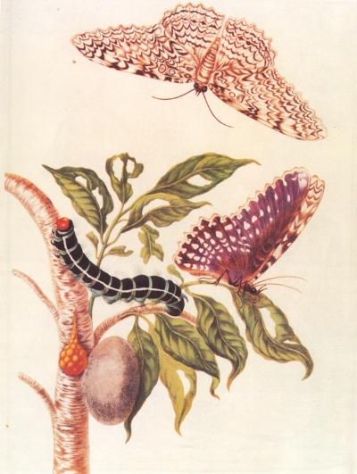 Metamorphosis of a Butterfly from  Metamorphosis insectorum Surinamensium  (1705).