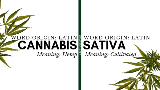 Cannabis sativa means hemp and cultivated in latin