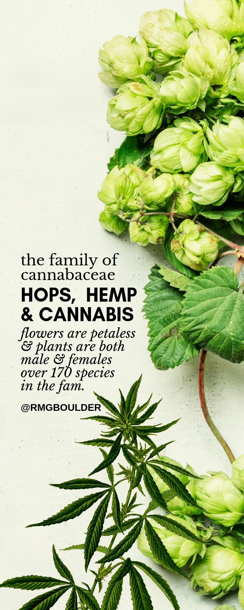cannabaceae family hops cannabis hemp
