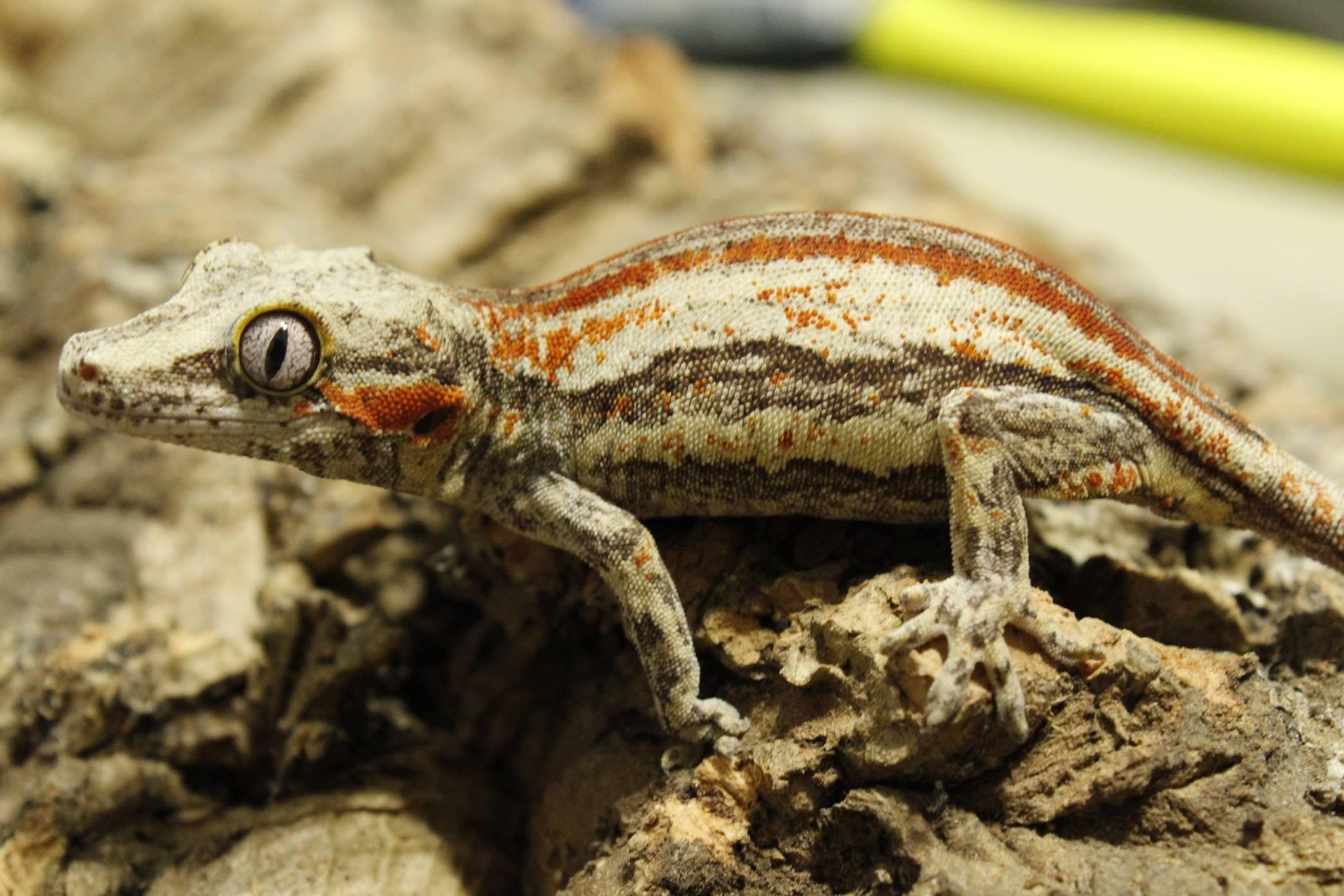 Repashy Crested Gecko Diet MRP Food Reptile Lizard Day Gecko Leachie Gargoyle