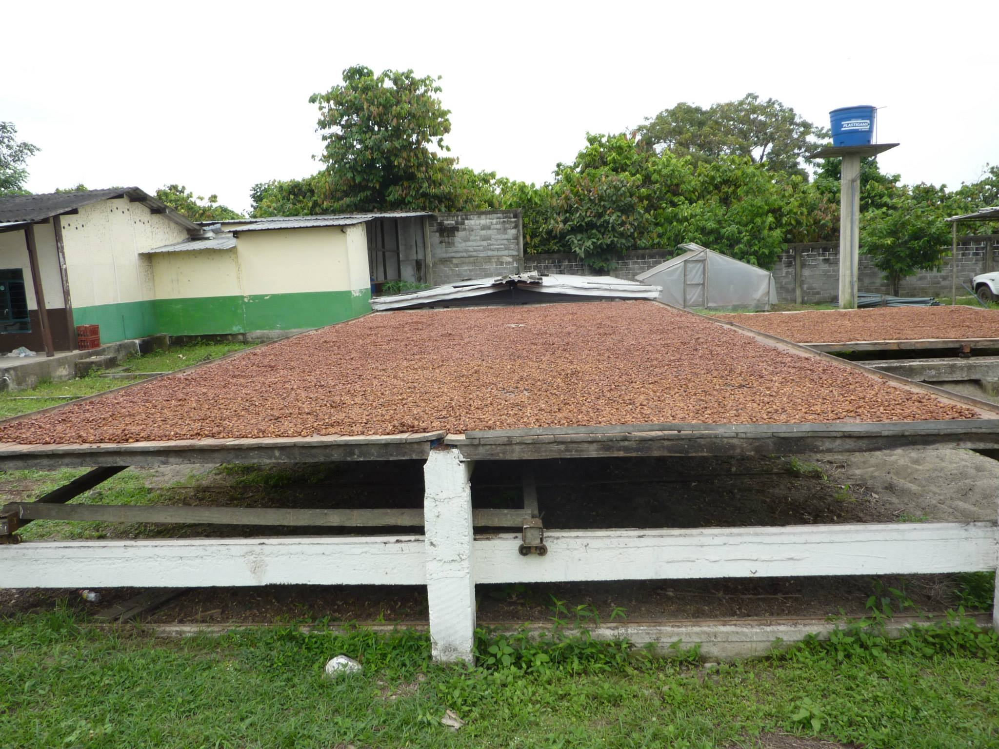 Cacoa beans being dried after harvest in Ecuador. Image Courtesy: creochocolate.com