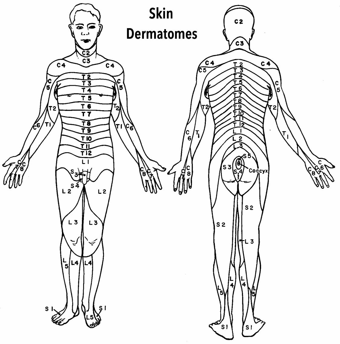 Skin Dermatomes