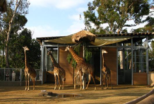 giraffes IMG_0822 zoomed in.jpg