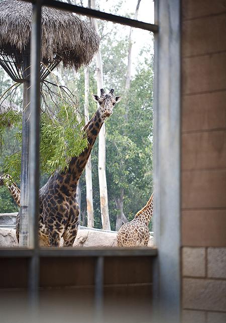 Giraffe-004 - Copy.jpg