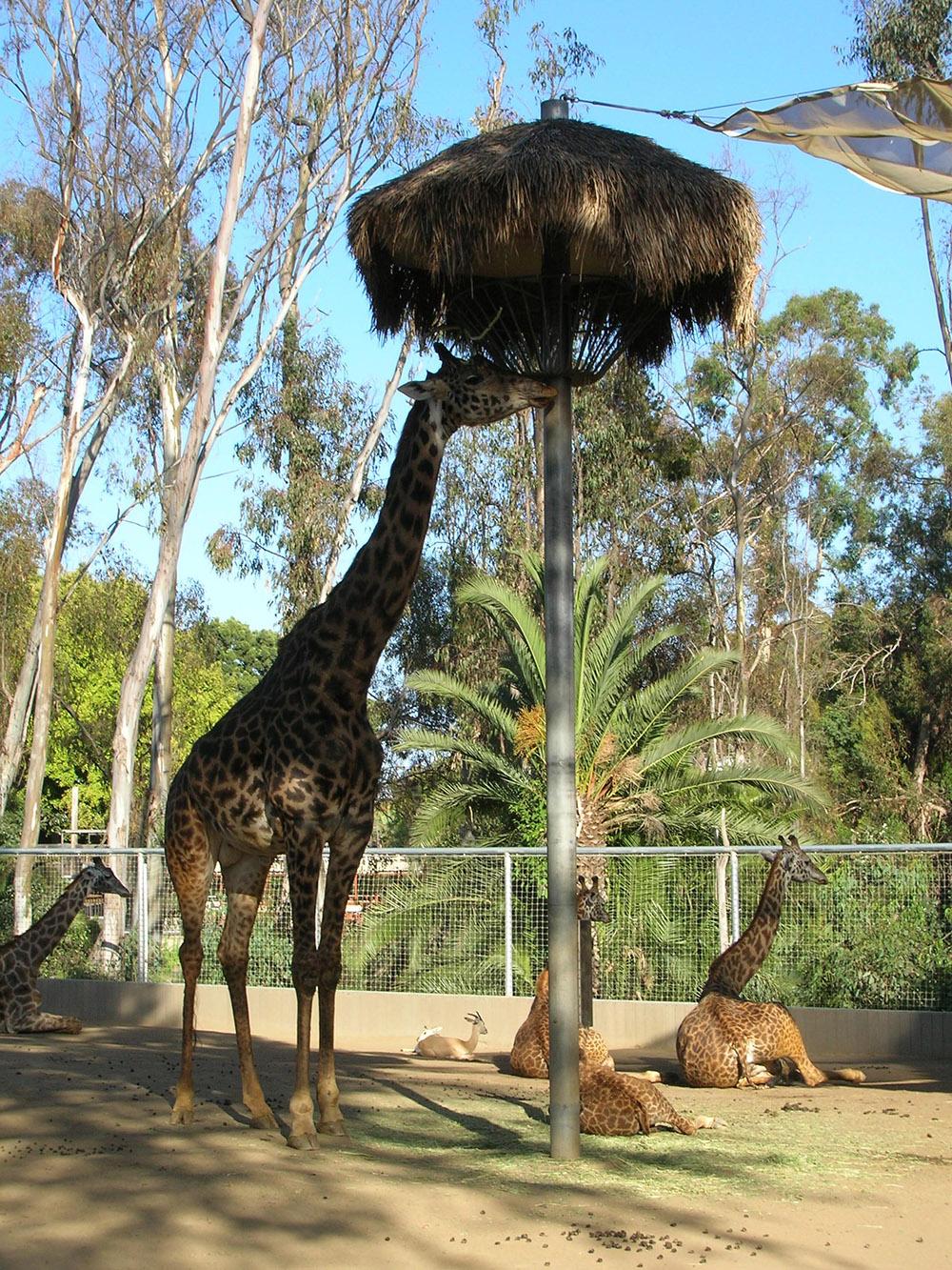 giraffes_ 009.jpg