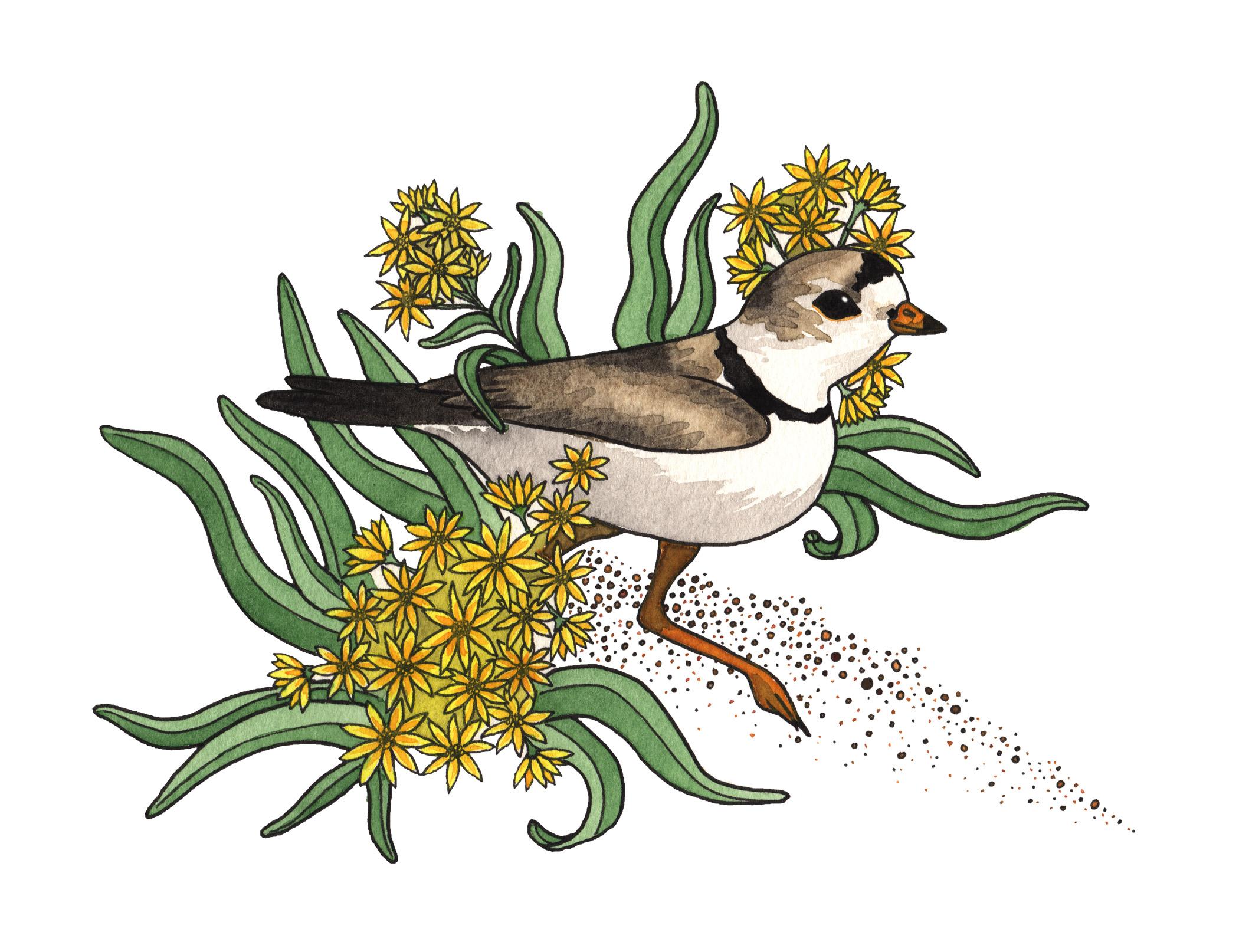 Piper & Goldenrod, 2017   Pen & Watercolor