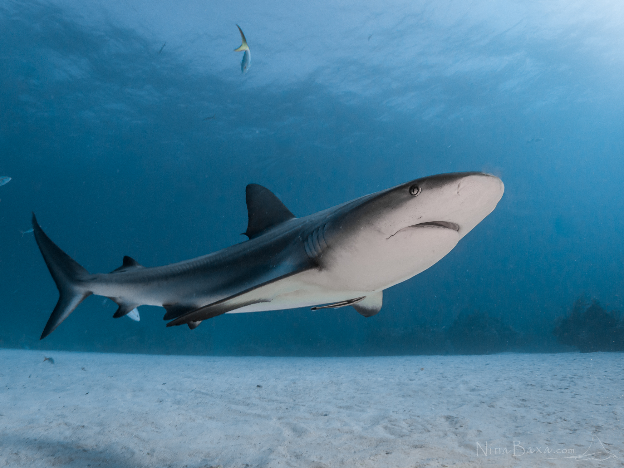 This year we are tagging beautiful reef sharks as seen in this picture.   Photo: S.H. Snowden-Smith