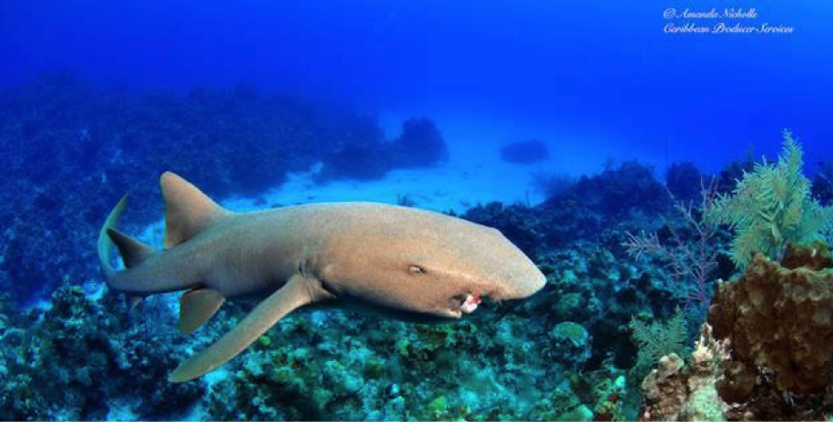Figure: Local Nurse shark (Ginglymostoma cirratum) called Fin on the West side of Grand Cayman.