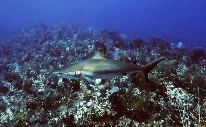Caribbean reef shark with a DoE dorsal fin tag.