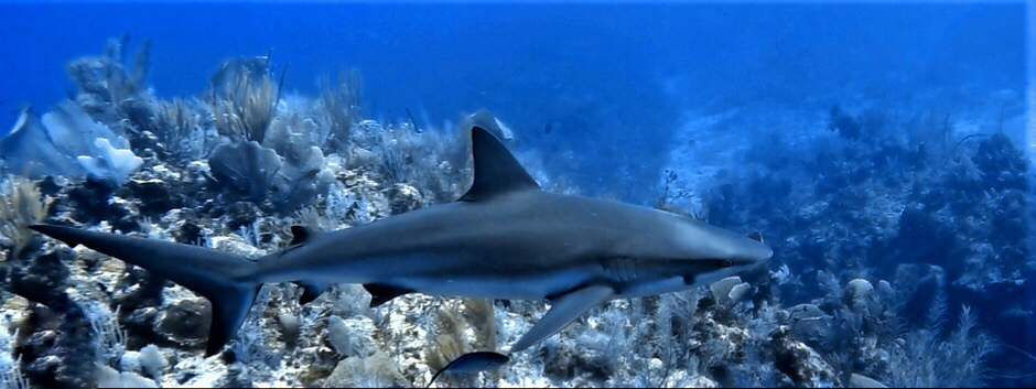 Figure: Scarlet, also known as Smudge. Local female Caribbean reef shark (Carcharhinus perezi) from East End, Grand Cayman.