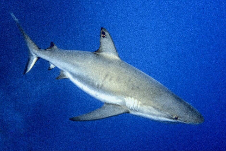Figure: Tagged female Caribbean reef shark (Carcharhinus perezi) on Little Cayman. Tag number: DOE 107.