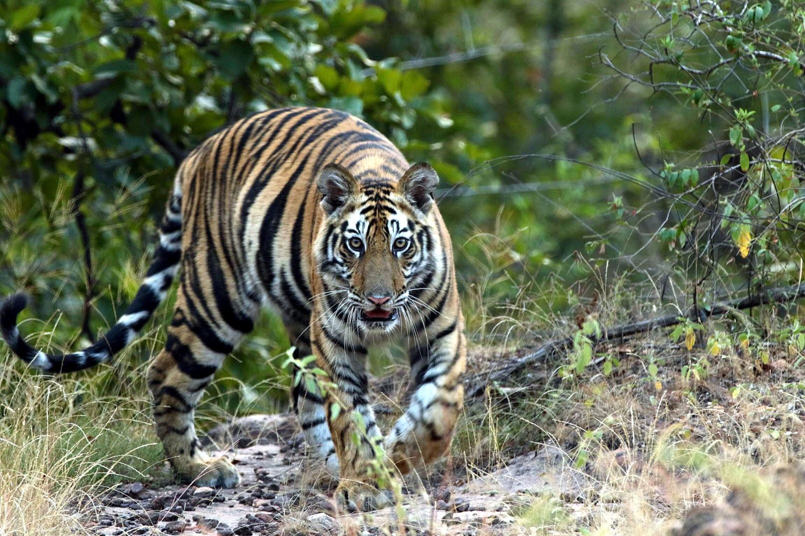 A Bengal tiger in Pench National Park