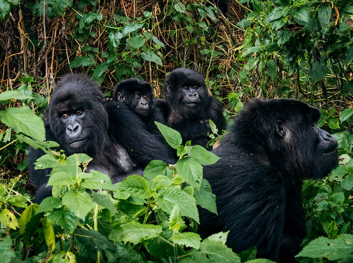 At last count there were over 600 mountain gorillas in the Virunga Massif. A few decades ago they numbered just 242. MATT HORSPOOL