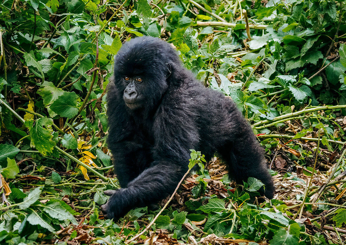 Twenty-five baby gorillas were named this year. Since Kwita Izina began, in 2005, more than 280 have been christened. MATT HORSPOOL