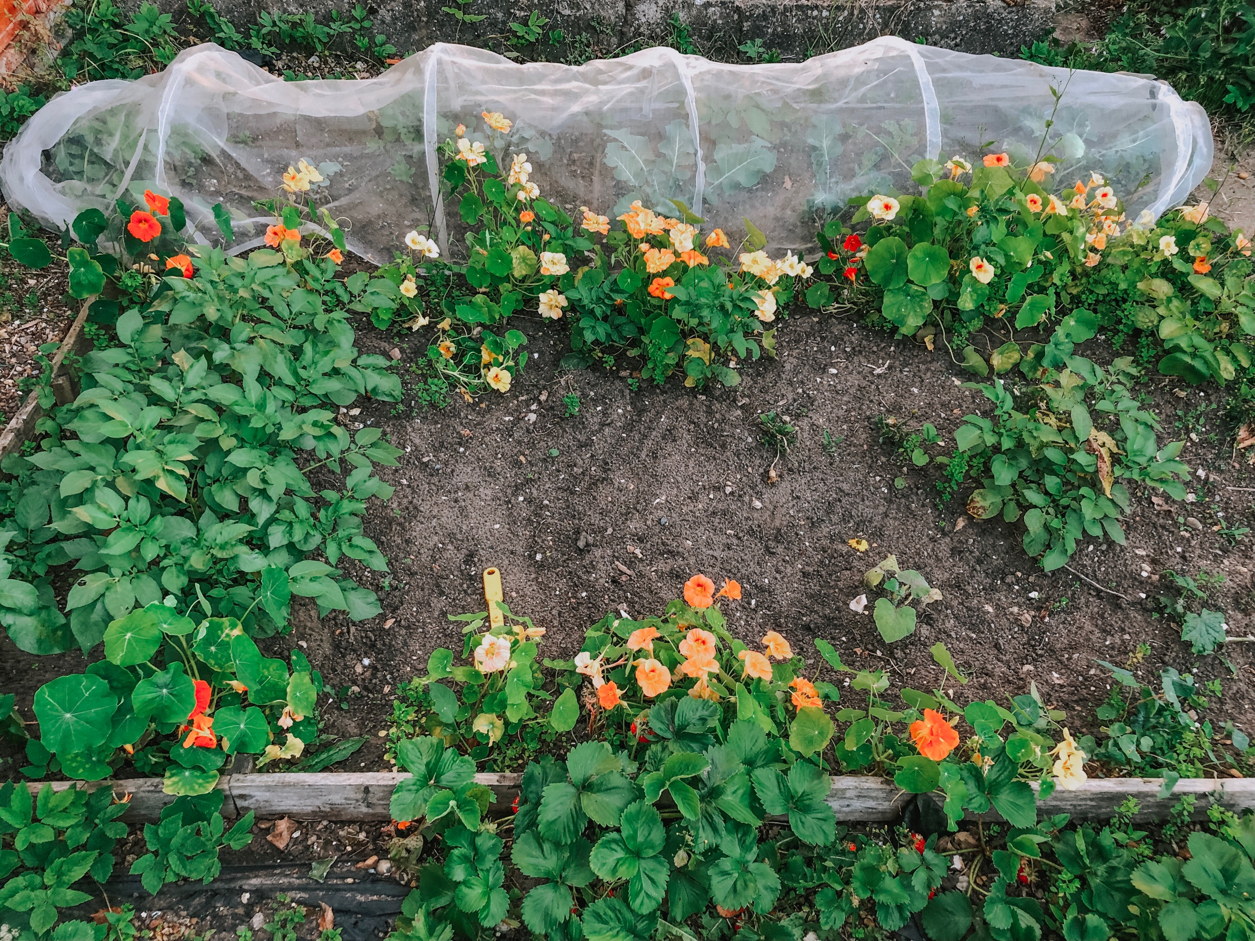 Nasturtiums - I've planted them between broccoli and potato plants in my garden.