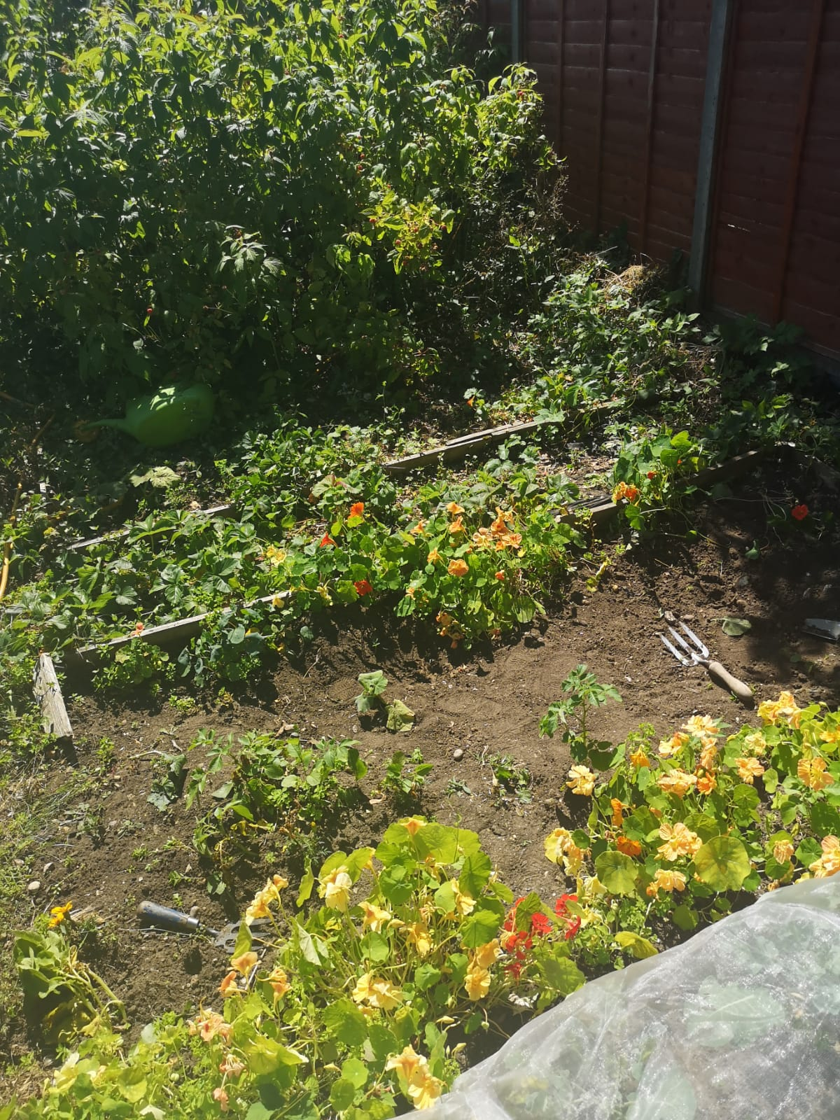 Nasturtiums against a background of potatoes, strawberries and out of control raspberry canes!