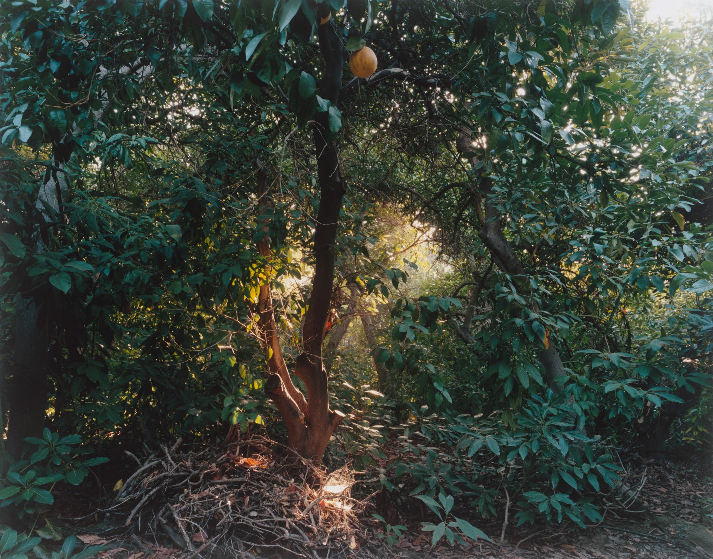 Simone Nieweg Grapefruit, Spinnweben und Reisighaufen, Grand Terrace, CA 2014.jpg