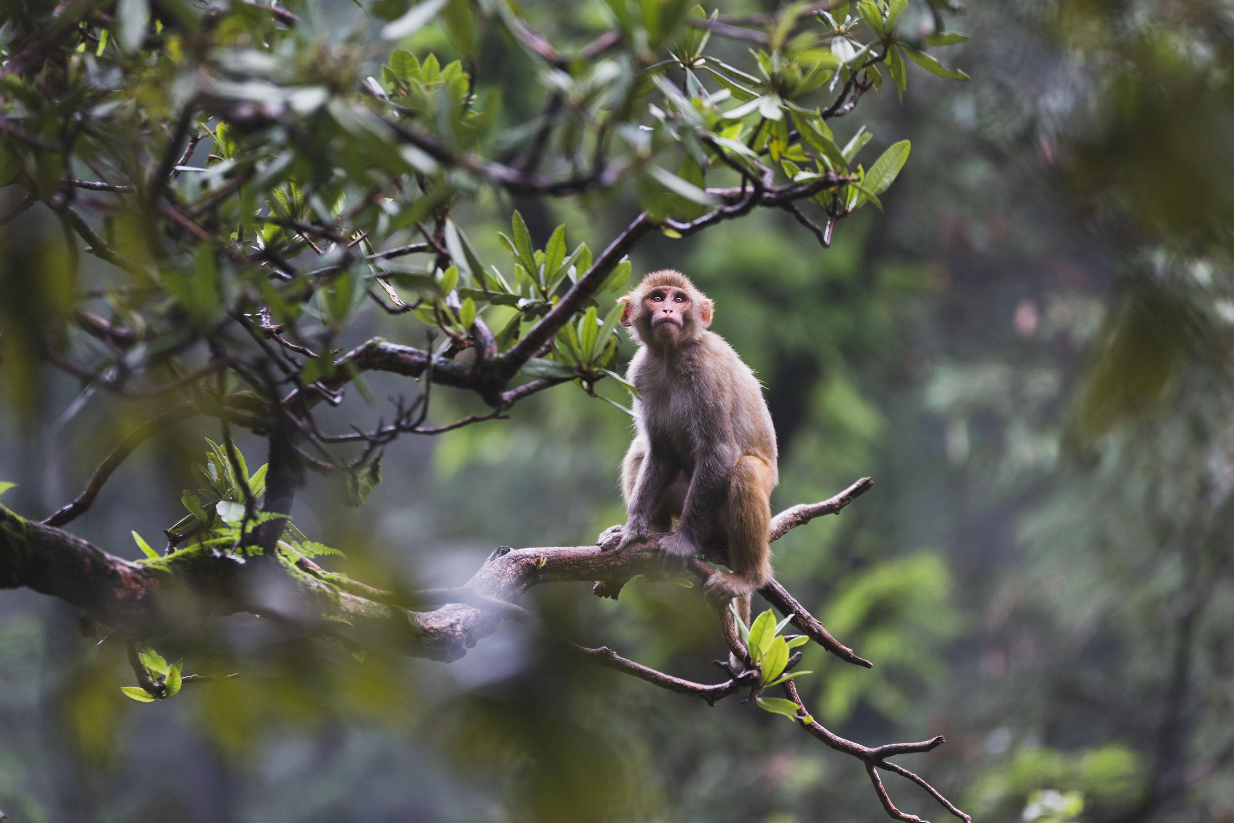 Misty Monkey in Forrest on Tree