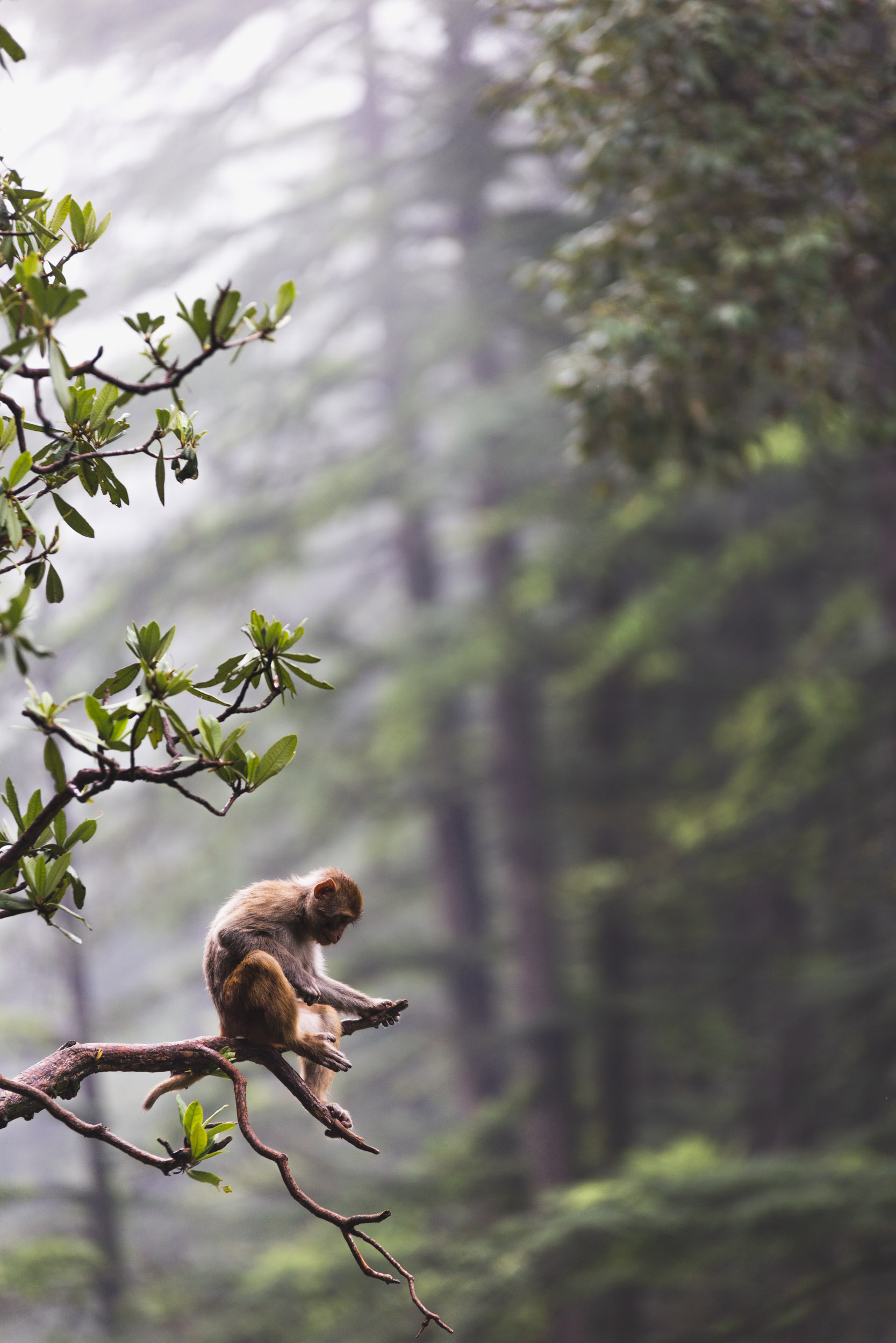 Misty Monkey in the forrest of Naddi, India,
