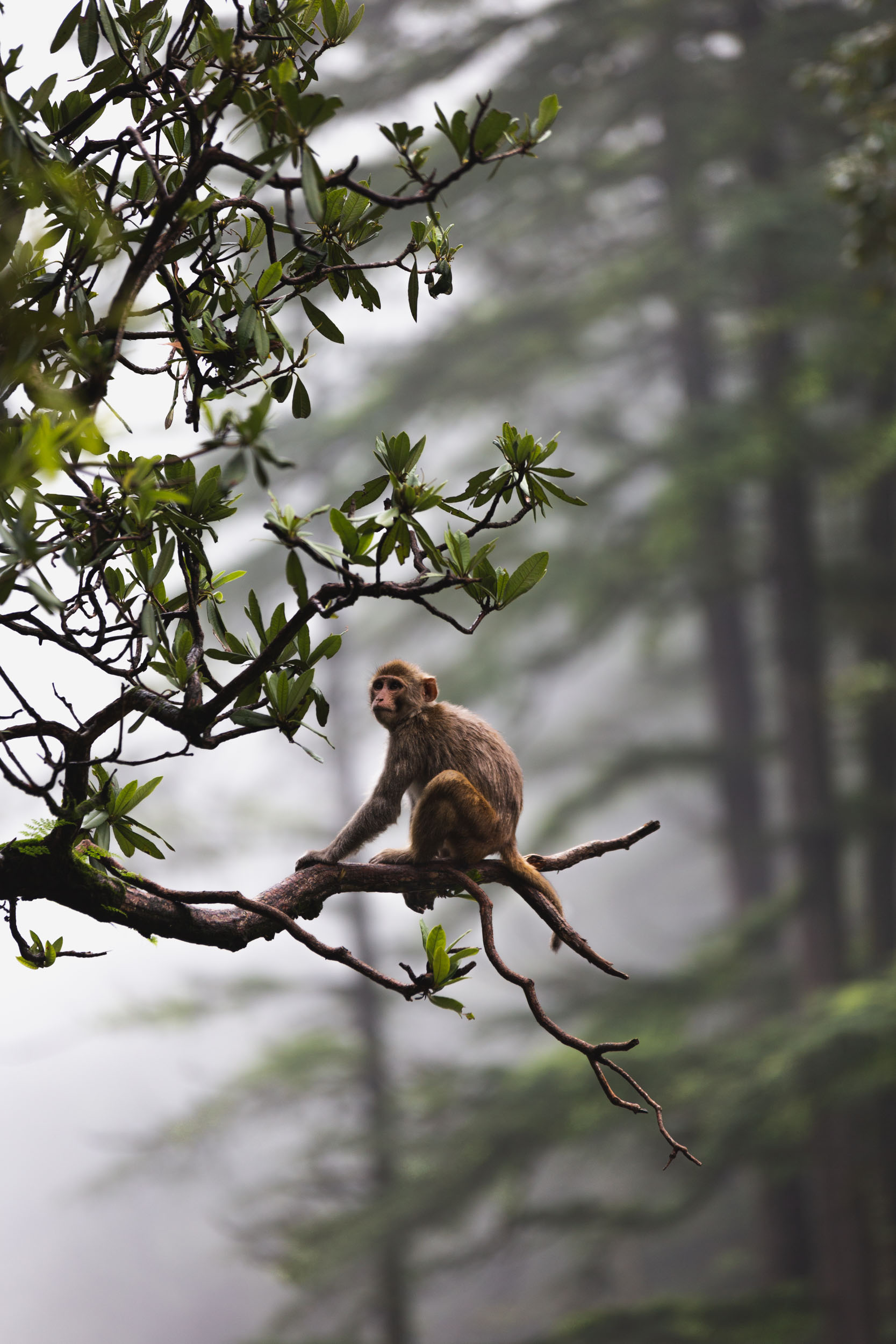 Misty Forrest Monkey in Naddi, India.