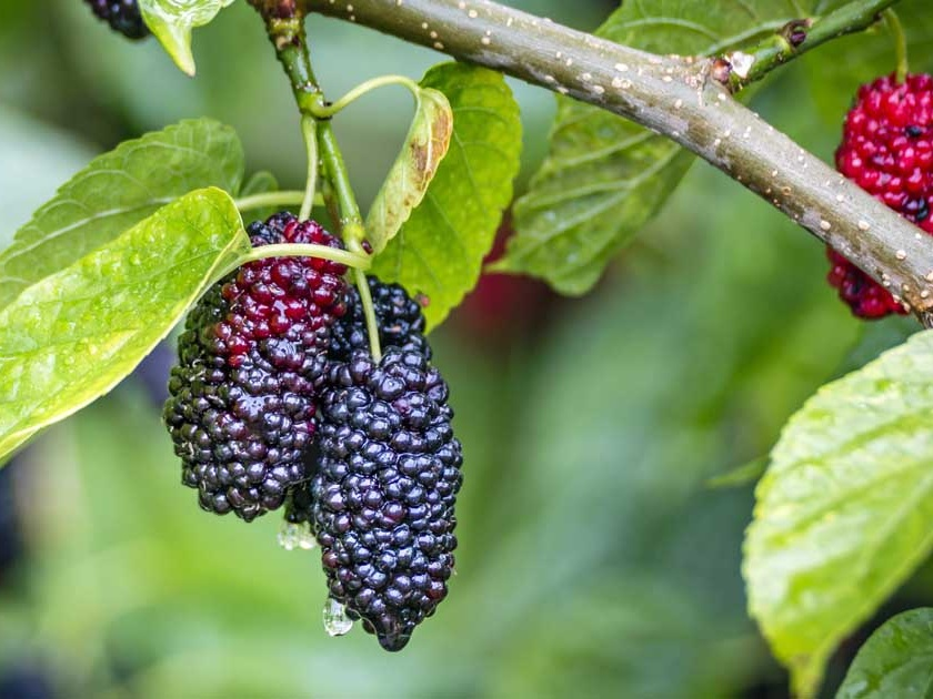 Growing-Mulberry-jpg.jpg