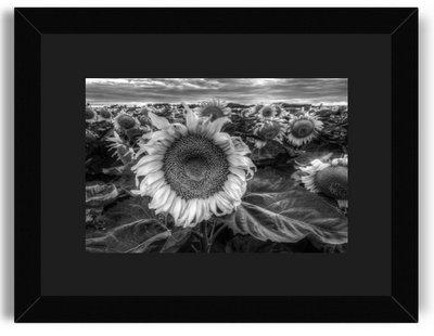 Clarence Abrams Sunflower Crop 8x12 Black Frame Black Mat.jpg