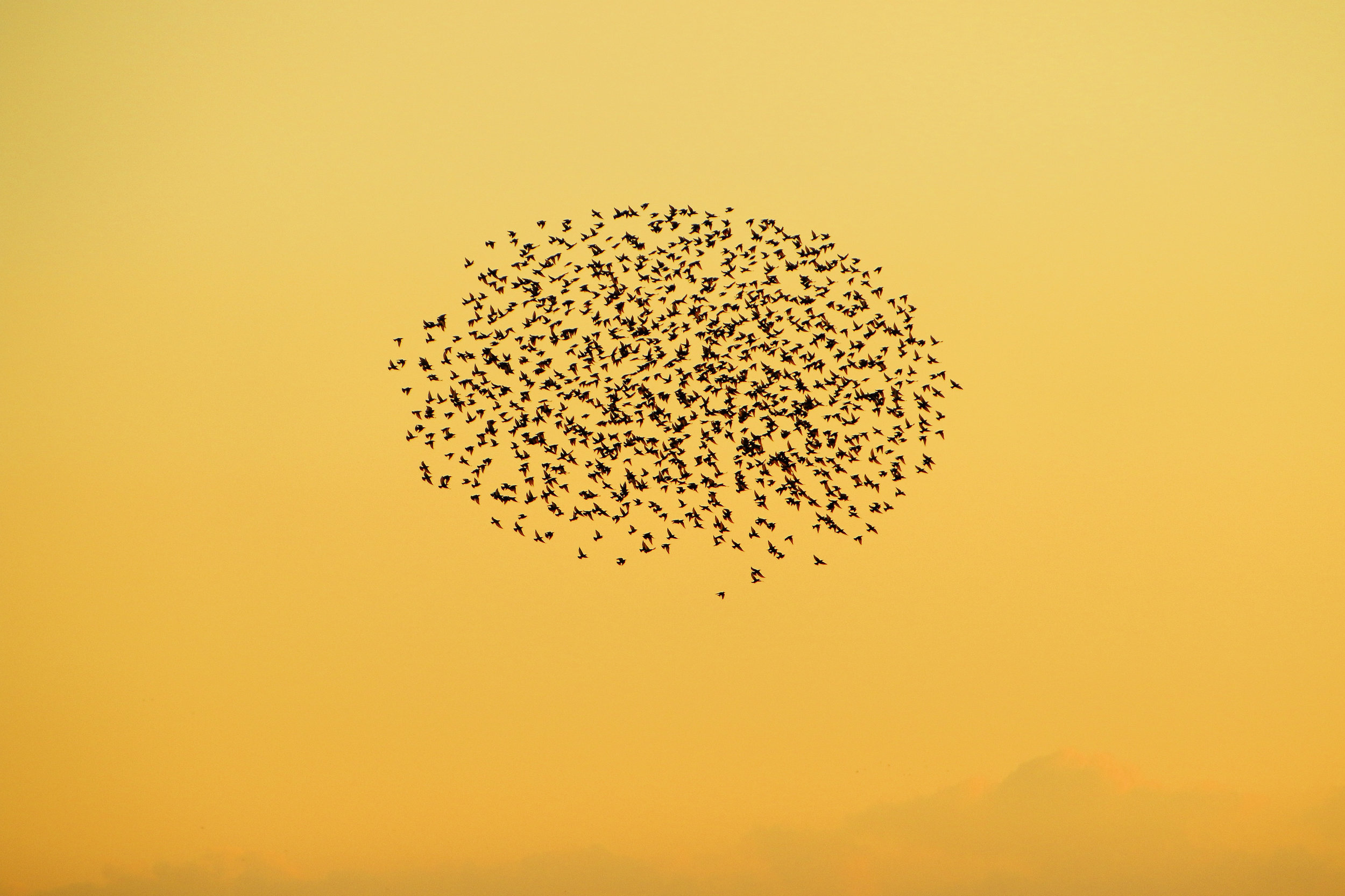 The Starlings are coming...