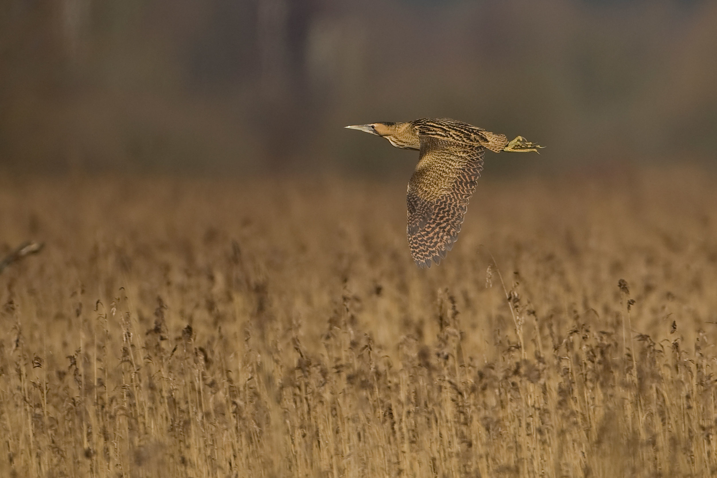 Bittern flying over the Avalon Marshes